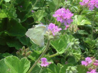 2匹の蝶☆.jpg