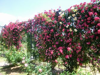 rosefestival11.jpg