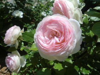 rosefestival12.jpg