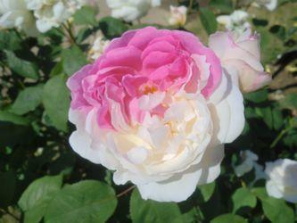 rosefestival5.jpg