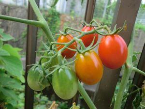 tomato2011.8.jpg
